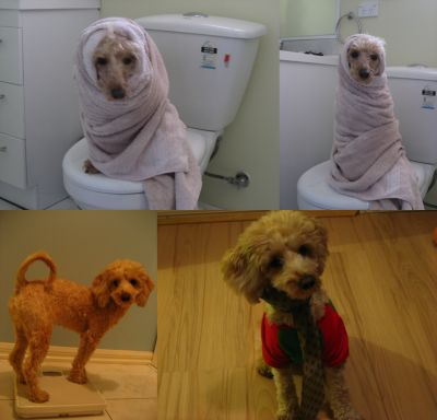 <em>Top</em>: Toby wrapped up like a nun after a bath.  <em>Above left</em>: Toby's put on weight in the winter just past. He's always hovered around 5.5kg. Towards the end of the year he was 6.3kg. <em>Above right</em>: We like dressing Toby up. Here, he's wearing one of my ties and his Santa tee shirt.